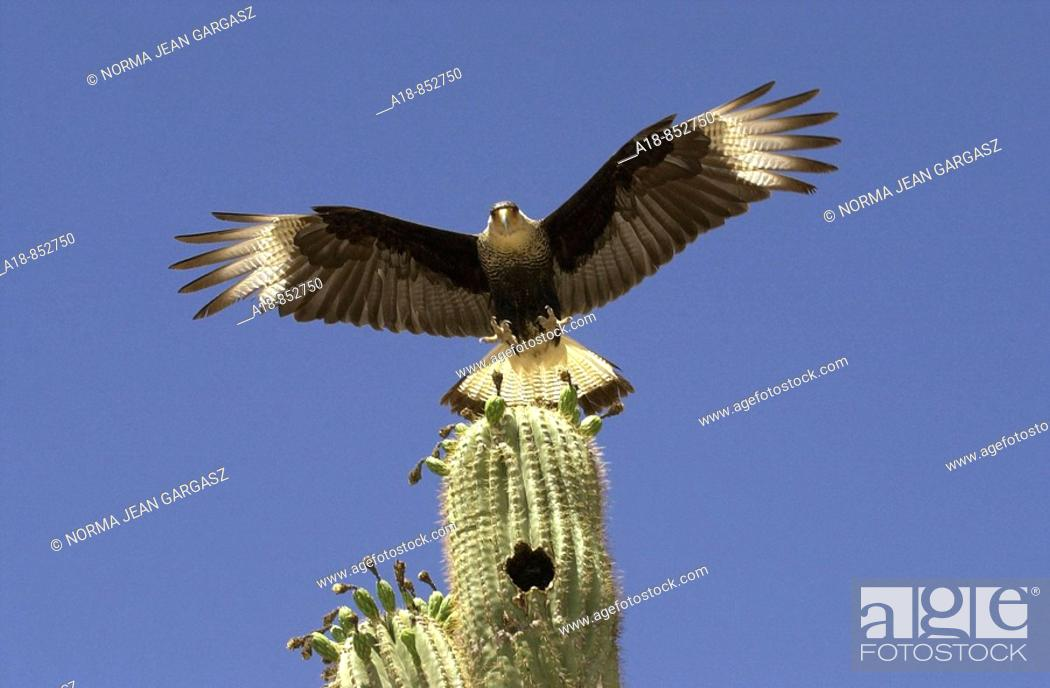 Stock Photo: A Crested Caracara polyborus plancus, a bird of prey that is a member of the falcon group, nests in a saguaro cactus east of Sells, Arizona.