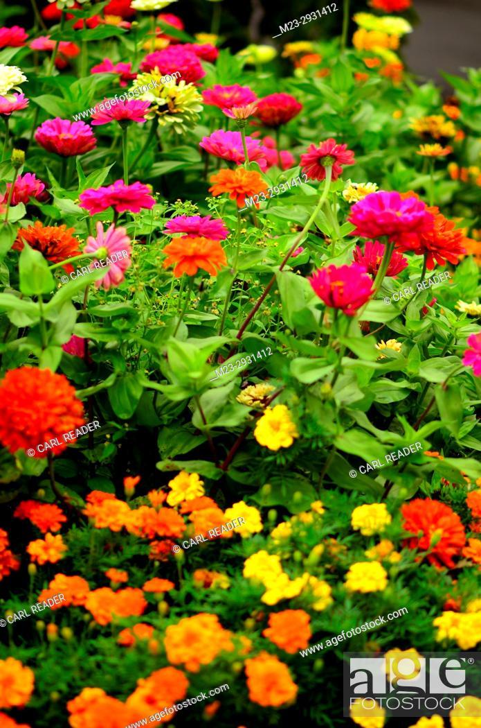 Stock Photo: Zinnias and marigolds in soft-focus, Pennsylvania, USA.
