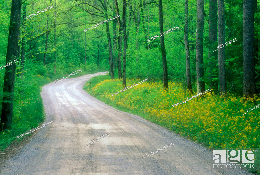 Stock Photo: Greenbrier Road and yellow ragwort. Great Smoky Mountains NP. Tennessee. USA.