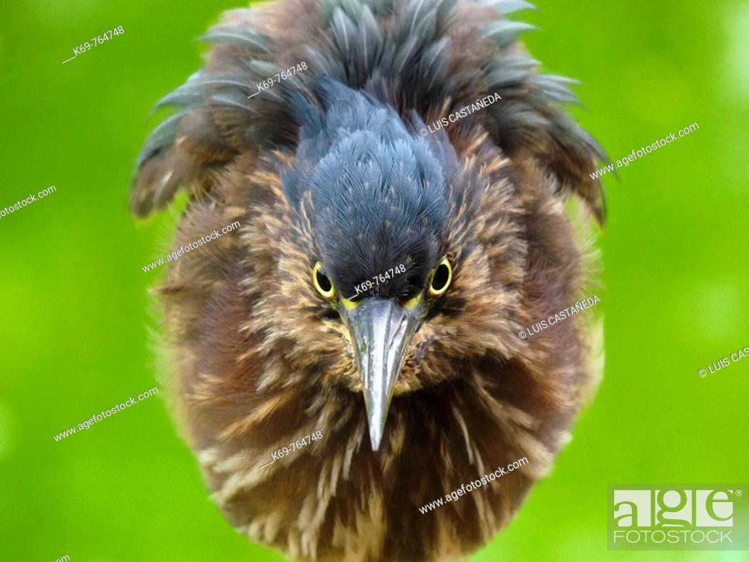 Stock Photo: Green-backed Heron Butorides virescens.