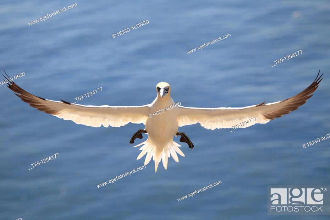 Stock Photo: Northern Gannet (Sula bassana or Morus bassanus) in flight, Bass Rock, Scotland.