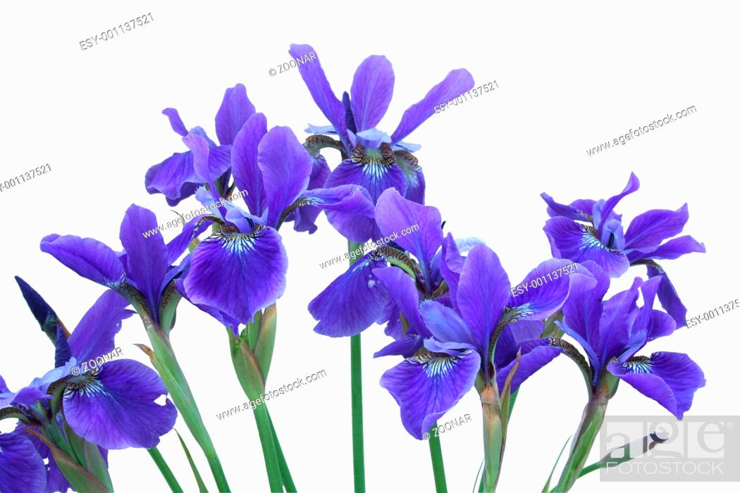 Stock Photo: Blue Iris Bouquet. Isolated on white.