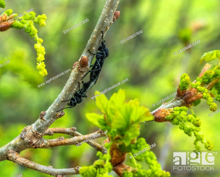 Stock Photo: mating Hawthorn Flies at spring time in natural ambiance.