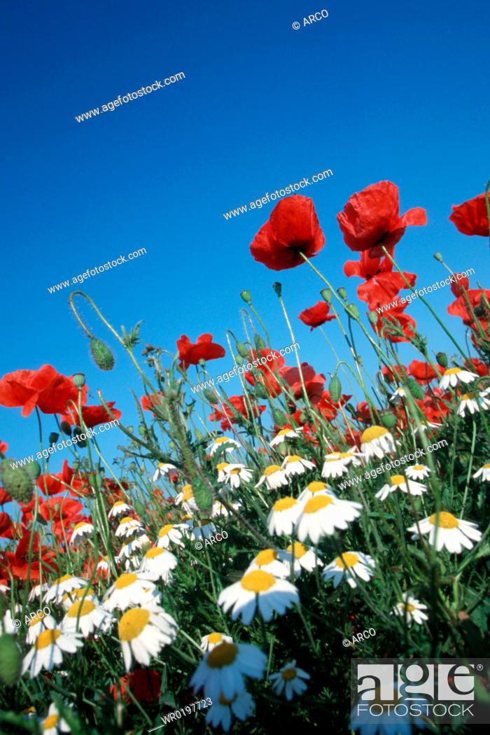 Stock Photo: Common, Poppies, and, Camomile, Lake, Neusiedl, Austria,Papaver, rhoeas.