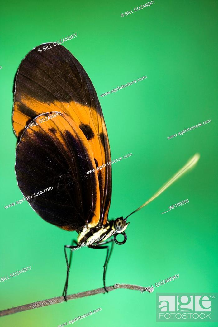 Stock Photo: Longwing Butterfly Species Captive - La Selva Jungle Lodge, Amazon Region, Ecuador.