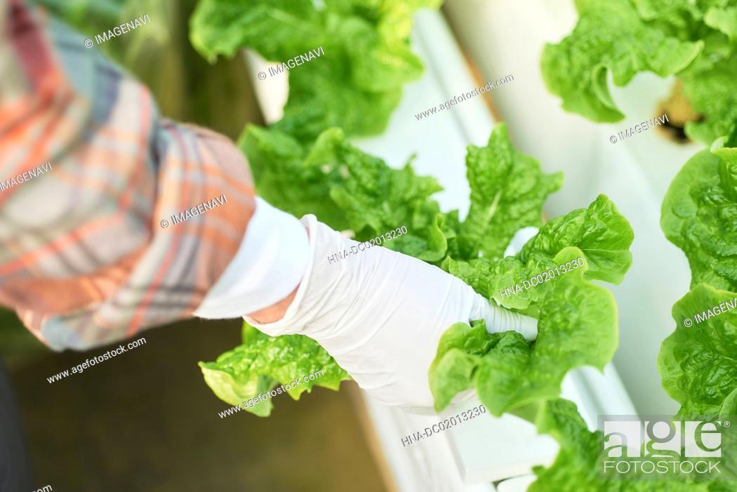 Stock Photo: Senior woman picking stem lettuce.