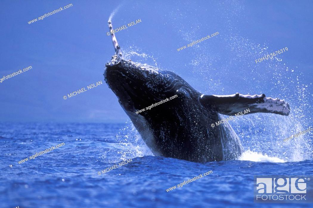 Stock Photo: Humpback Whale Megaptera novaeangliae Calf breaching/head-lunging in AuAu Channel near Maui, Hawaii, USA. Pacific Ocean.