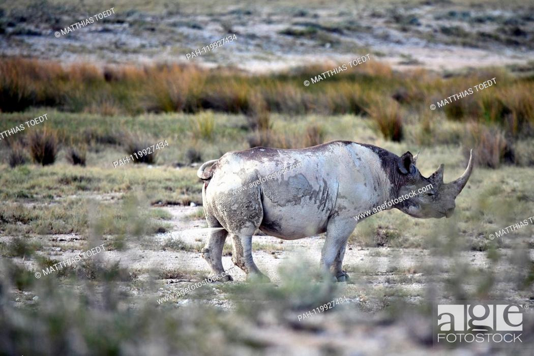 Stock Photo: Black Rhinoceros in the Etosha National Park marks its territory with a urine stream, taken on 05.03.2019. The Black Rhinoceros (Diceros bicornis) is an open.