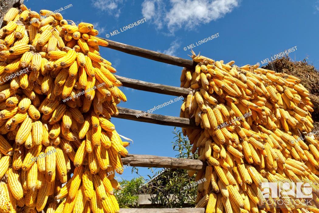 Stock Photo: Corn cobs drying in the sun, Baisha, near Lijiang, Yunnan Province, China.
