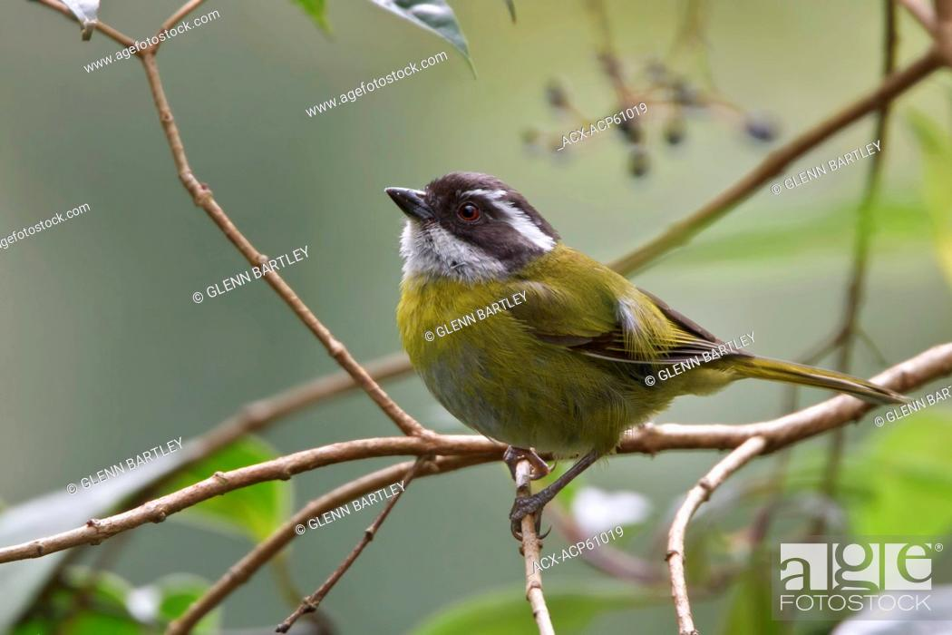 Stock Photo: Sooty-capped Bush Tanager Chlorospingus pileatus perched on a branch in Costa Rica.
