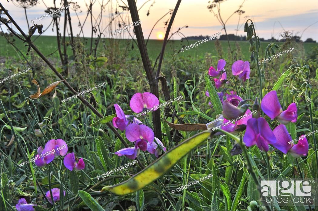 Imagen: sweet pea ((Lathyrus odoratus), France, Europe.