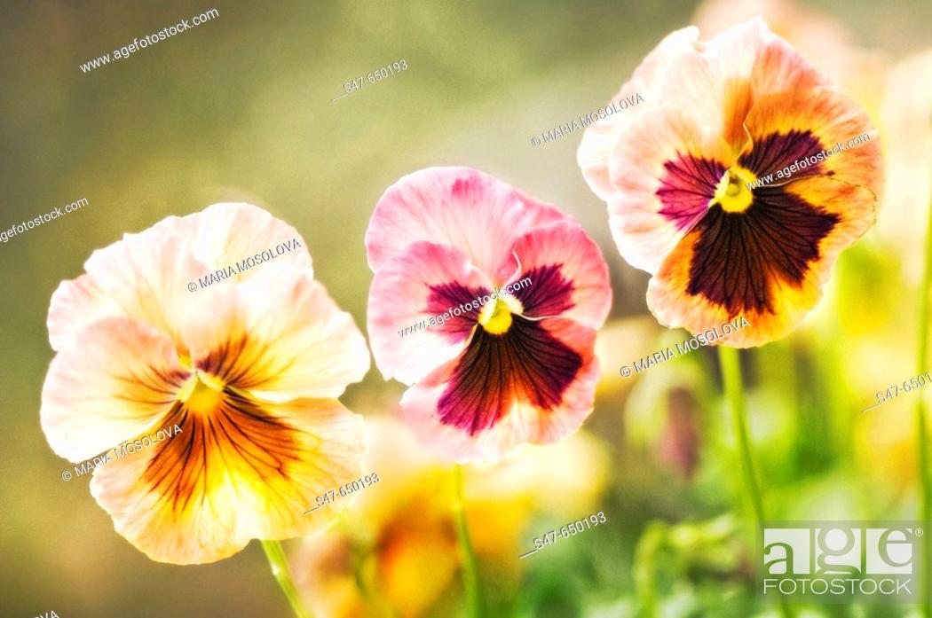 Stock Photo: Pansy Flower Trio. Viola x wittrockiana. April 2007. Maryland, USA.