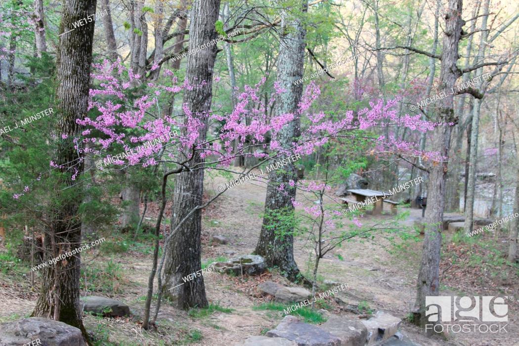 Stock Photo: Flowering trees at Devil's Den State Park in Arkansas.