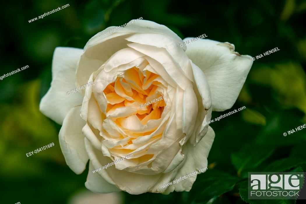 Stock Photo: Sunny close up of a single white Crimson Blush english rose flower with many details and a green bokeh background.