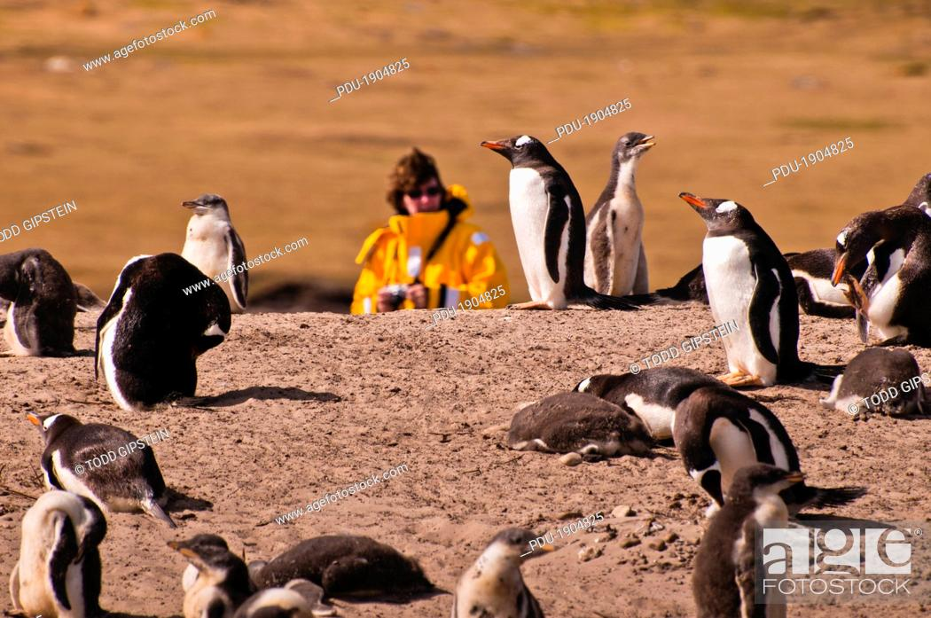 Stock Photo: A woman stands behind a colony of gentoo penguins at Saunders Island.