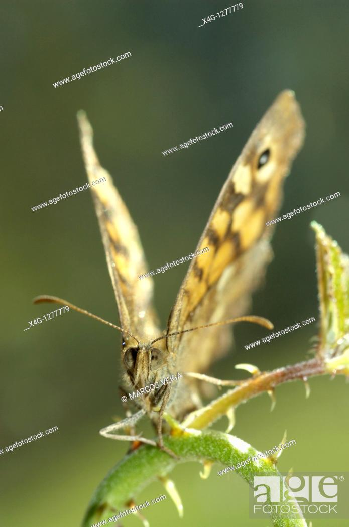 Stock Photo: Speckled wood butterfly sunbathing Pararge aegeria.