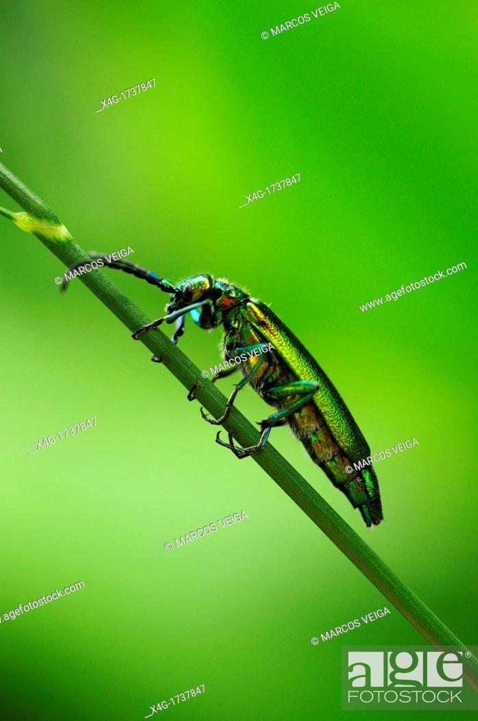 Stock Photo: Spanish Fly or Blister Beetle Lytta vesicatoria.