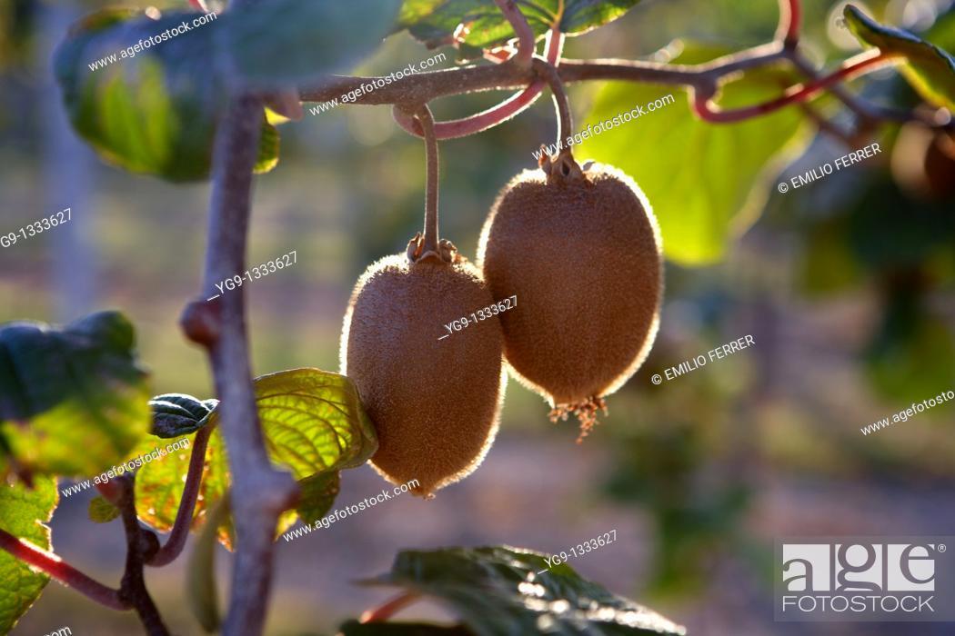 Stock Photo: Kiwi on a tree LLeida Spain.