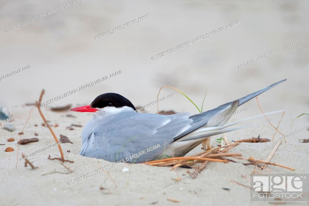 Stock Photo: Breeding Arctic tern.