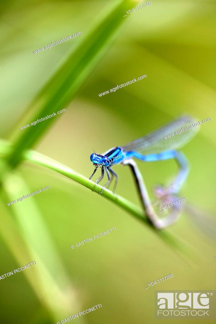 Stock Photo: Male Common bluetail damselfly Ischnura heterosticta, and female damselfly, Cincinnati, USA.