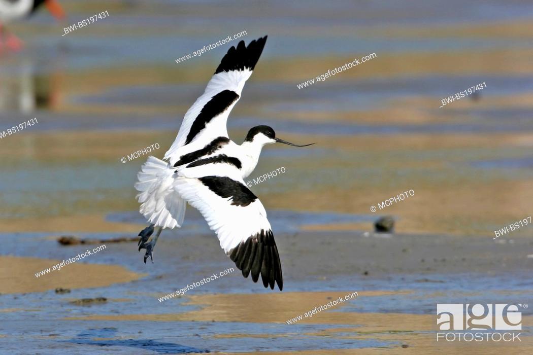 Imagen: pied avocet (Recurvirostra avosetta), approach for a landing, Netherlands, Texel.