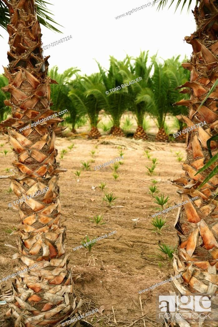 Stock Photo: Agriculture of ornamental palm trees rows plantation.