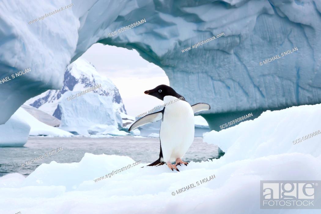 Stock Photo: AdÇlie penguin Pygoscelis adeliae near the Antarctic Peninsula, Antarctica MORE INFO The AdÇlie Penguin is a type of penguin common along the entire Antarctic.
