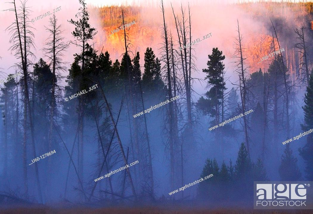 Stock Photo: Morning fog envelopes a stand of lodgepole pines at Yellowstone National Park, Wyoming.