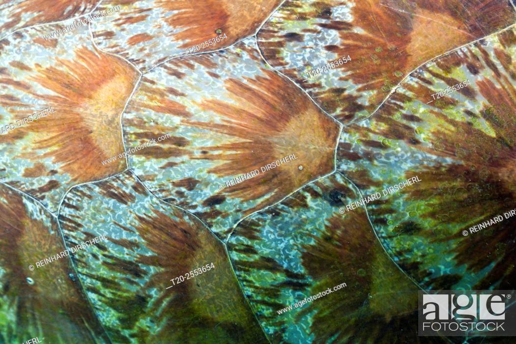 Stock Photo: Shield of Green Sea Turtle, Chelonia mydas, Komodo National Park, Indonesia.