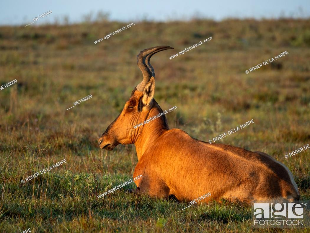 Stock Photo: Red hartebeest (Alcelaphus buselaphus caama or Alcelaphus caama) lying on the ground. Eastern Cape. South Africa.