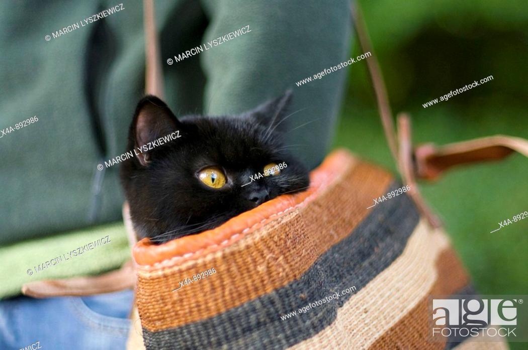 Stock Photo: British shorthair cat.