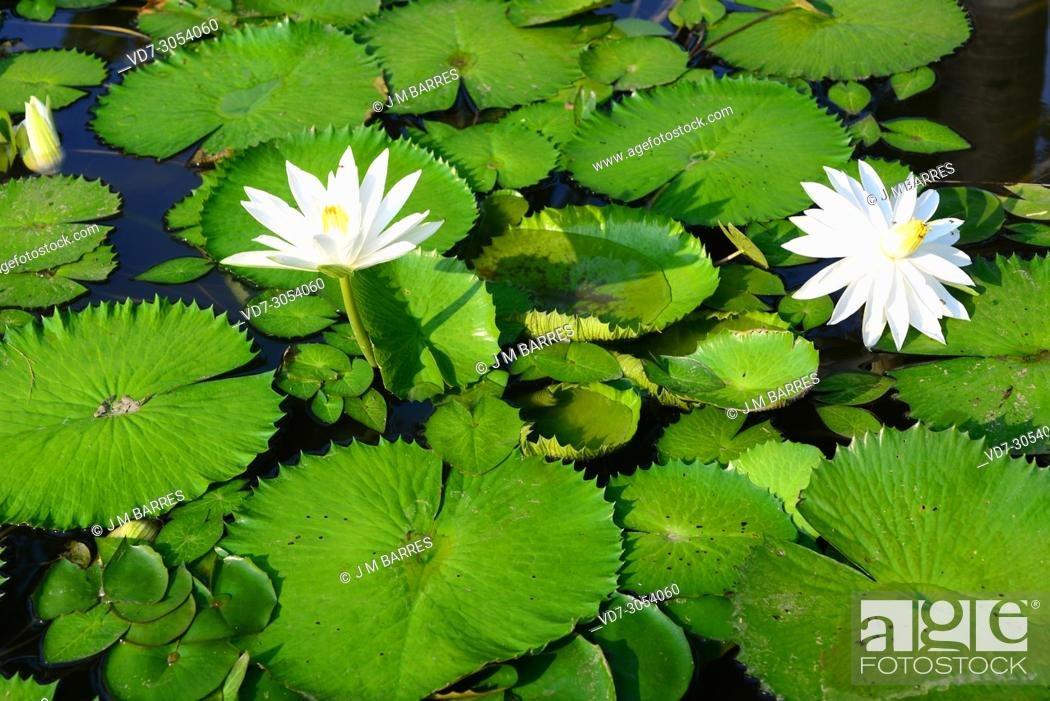 Photo de stock: White Egyptian lotus or white lotus (Nymphaea lotus) is an aquatic plant native to east Africa ans southeastern Asia. This photo was taken in Thailand.