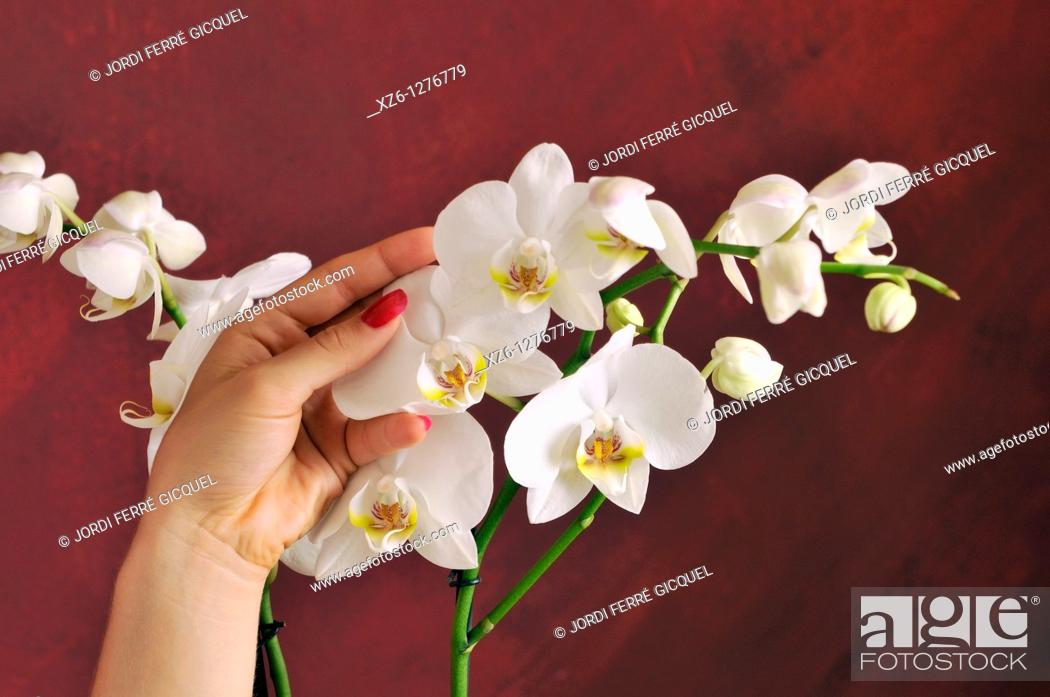 Stock Photo: Hands of young woman stroking an orchid.