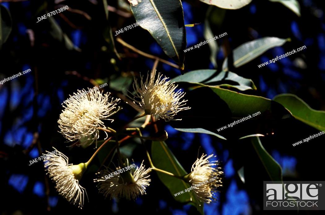 Imagen: Flowering branch of Marri or Red Gum (Eucalyptus calophylla), Myrtaceae.