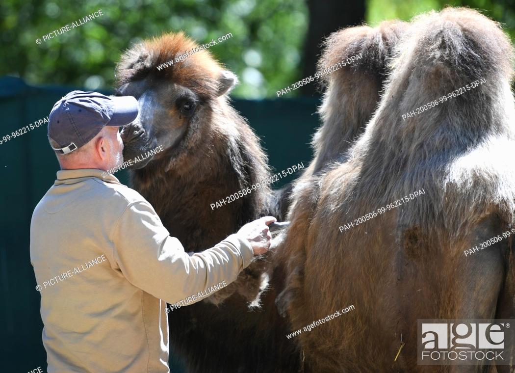 Stock Photo: 06 May 2020, Hessen, Frankfurt/Main: Animal keeper Walter Arlt is cuddling with a camel in the oafs of the Frankfurt Zoo while combing out the thick winter fur.