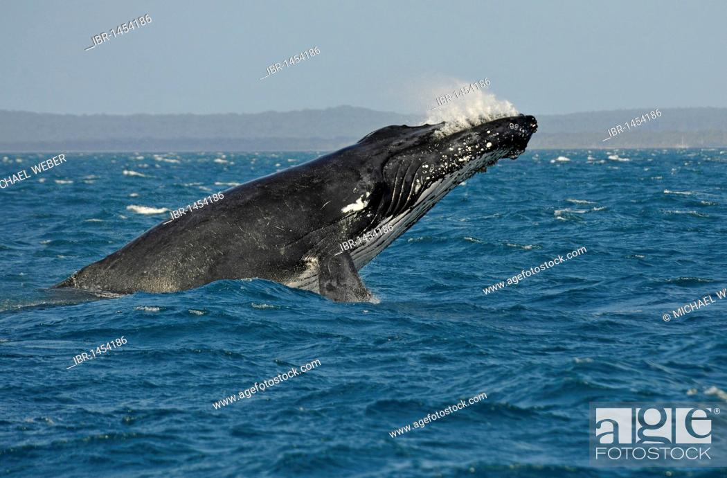 Stock Photo: Species-specific breach, breaching, jumping with a twist, humpback whale (Megaptera novaeangliae), Hervey Bay, Fraser Island in the back, Queensland, Australia.