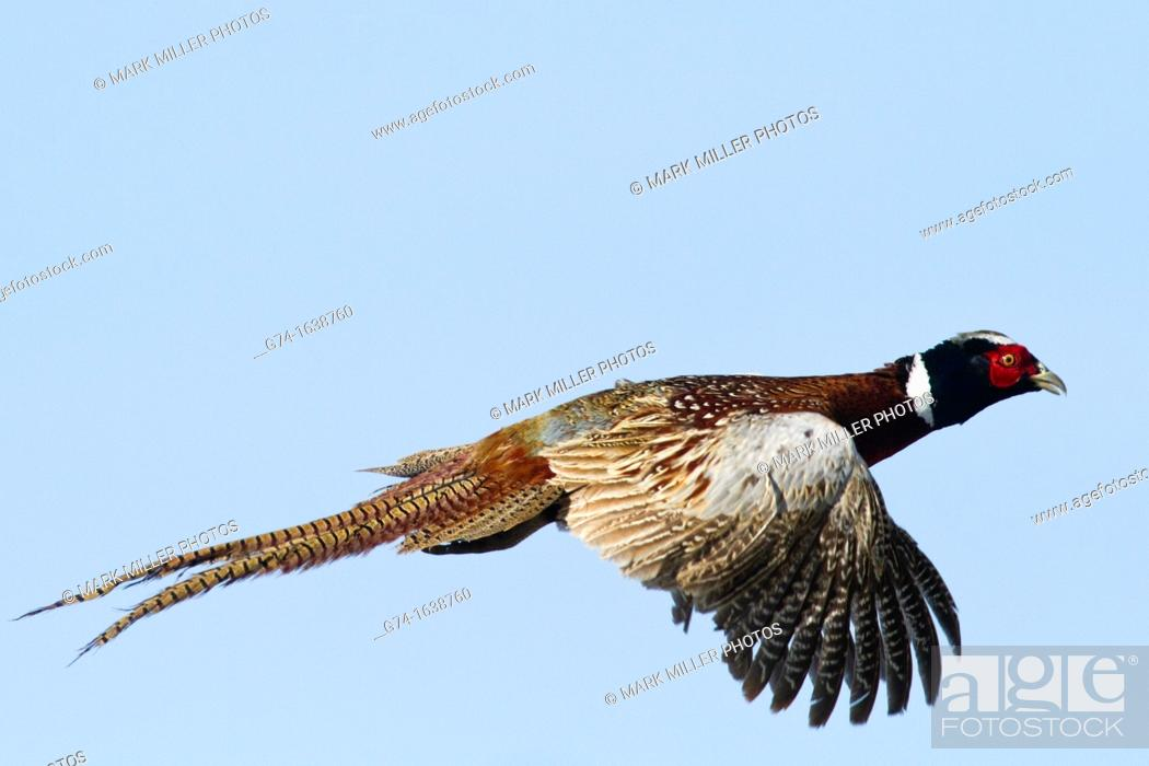 Stock Photo: Ring-necked Pheasant.
