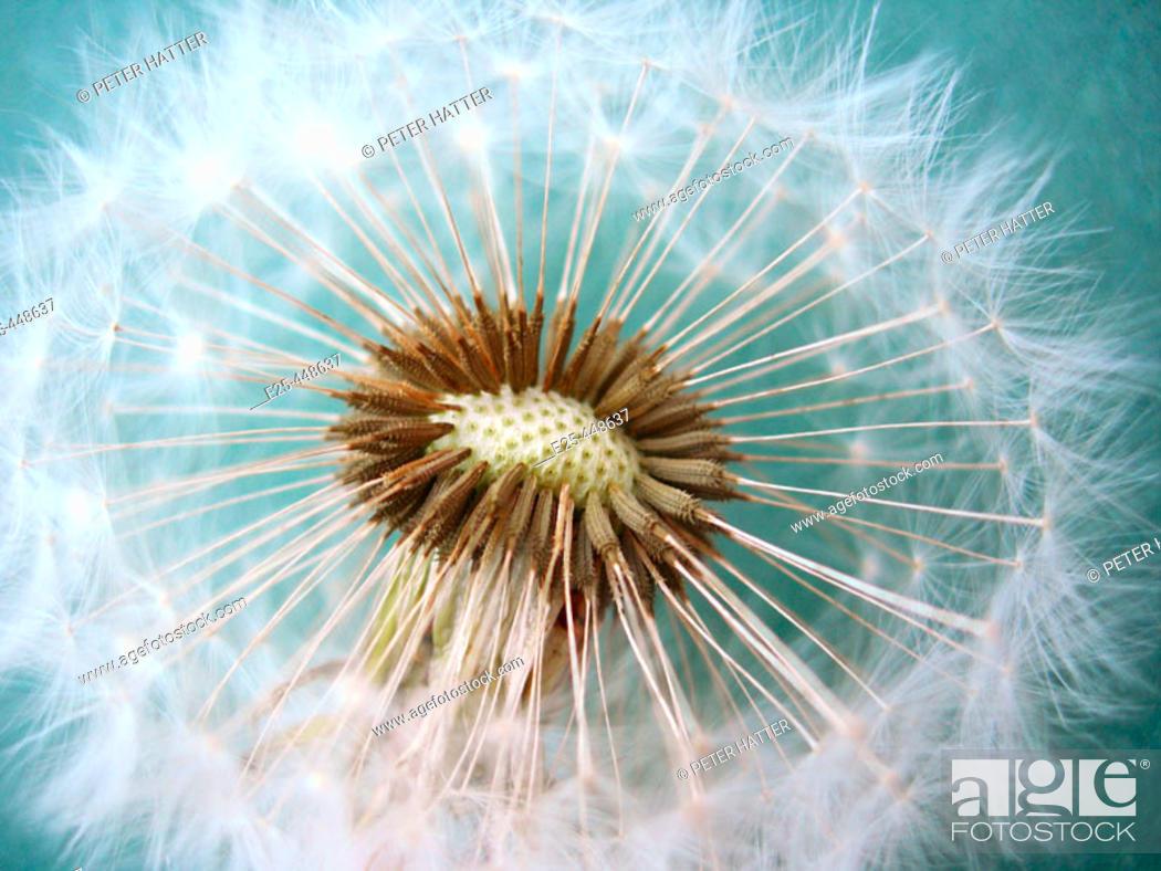 Stock Photo: Dandelion.