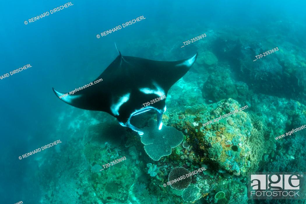 Stock Photo: Reef Manta, Manta alfredi, Komodo National Park, Indonesia.