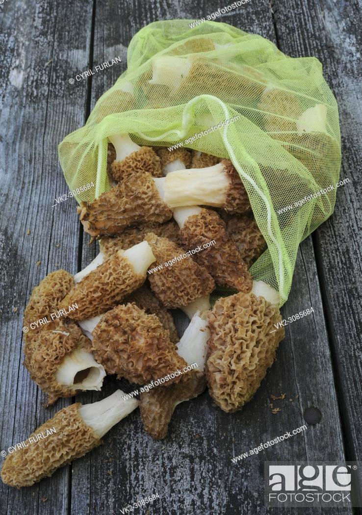 Stock Photo: Collecting sac full of morel mushrooms Pennsylvania.
