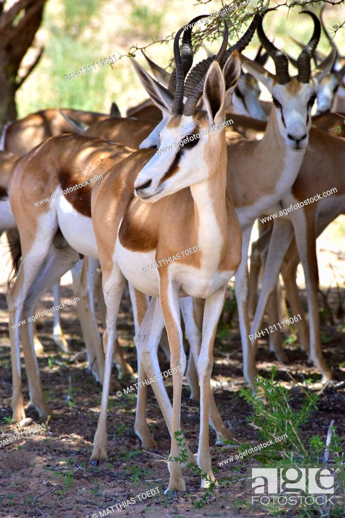 Stock Photo: Springboks (Antidorcas marsupialis) stand in the Namibian Etosha National Park in the shade of trees and protect themselves from the strongest heat of the day.