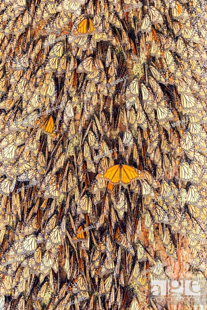 Stock Photo: Central America, Mexico, State of Michoacan, Angangueo, Reserve of the Biosfera Monarca El Rosario, monarch butterfly (Danaus plexippus).