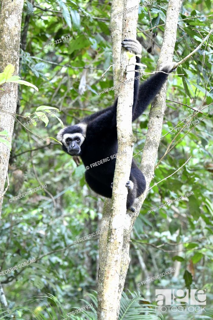 Stock Photo: Yellow-cheeked Crested gibbon male near Siem Reap, Cambodia, South east Asia.