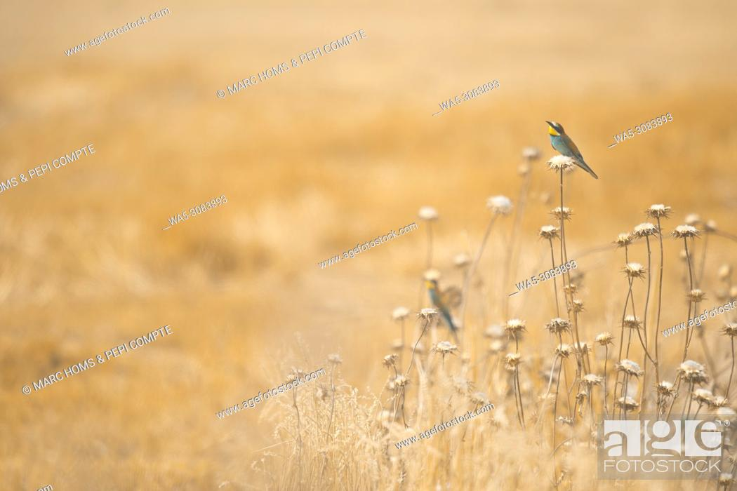 Stock Photo: European Bee Eater on a yellow field in Garrotxa, Catalonia, Spain.