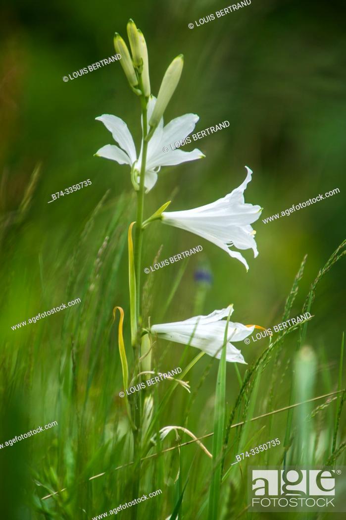 Stock Photo: lilium, solalex, vaud, swiss.