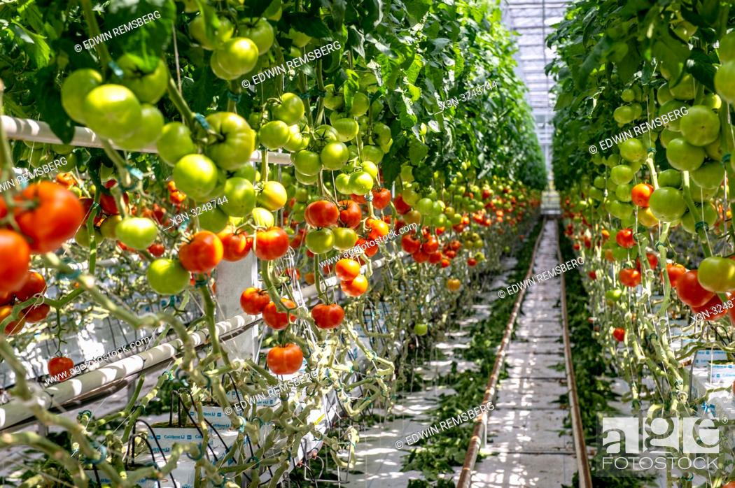 Imagen: Looking down row of hydroponically grown tomatoes in greenhouse, Kutno, ŠódŠº Voivodeship, Poland.