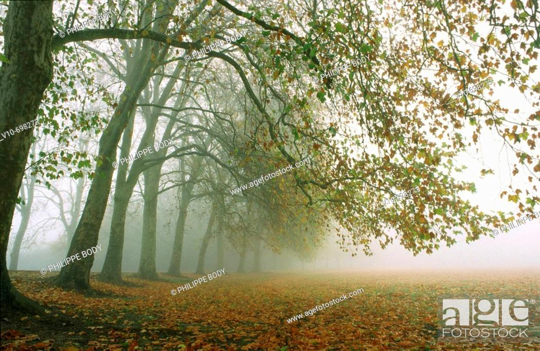 Stock Photo: Morning mist in a plane tree forest, France.