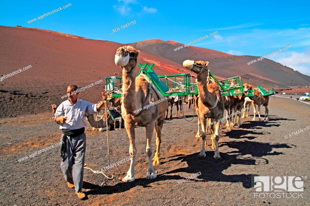 Stock Photo: Camels in Timanfaya National Park Lanzarote.
