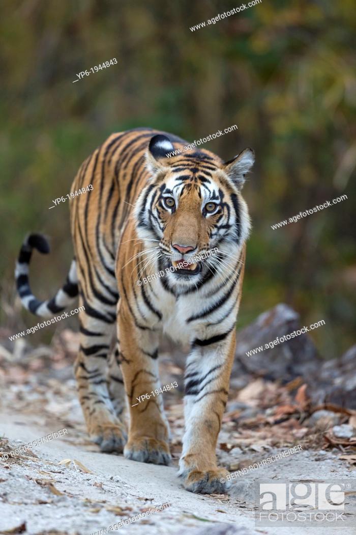 Stock Photo: Tiger (Panthera tigris) walking on forest track, Kanha National Park, Madhya Pradesh, India.