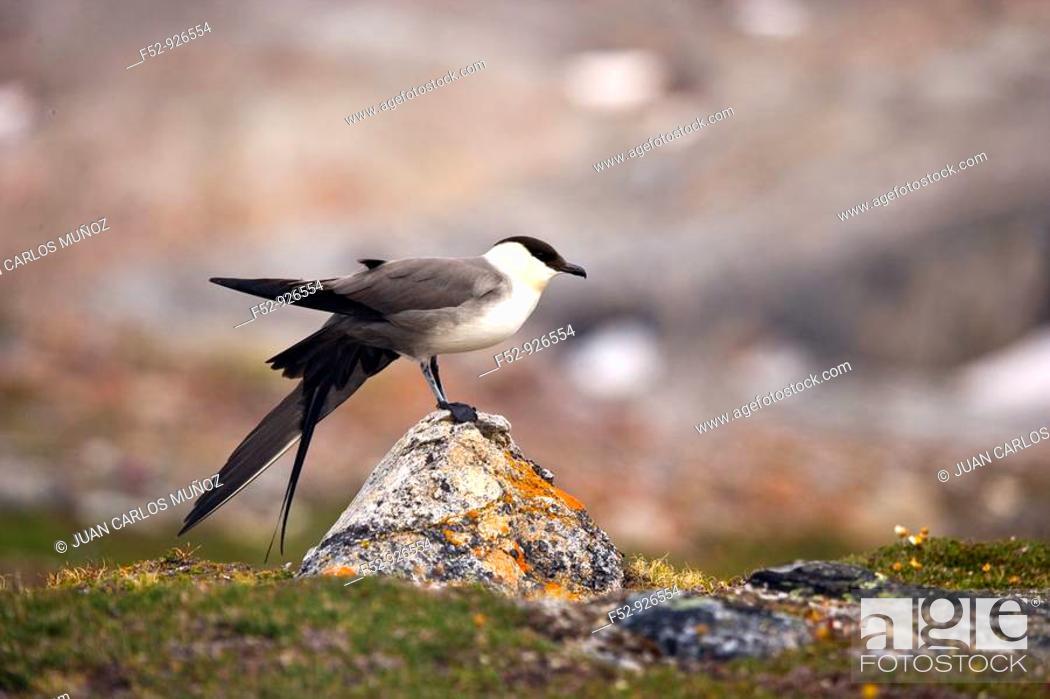 Stock Photo: Long-tailed Skua (Stercorarius longicaudus), Svalbard, Norway.